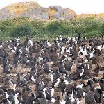 Terra do Fogo, Argentina-pinguineira