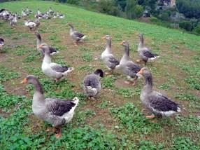 Gansos para a produção de foie-gras, França