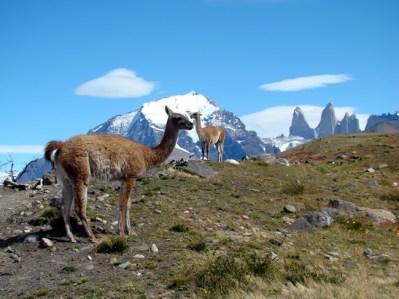 Guanacos em Torres del Paine