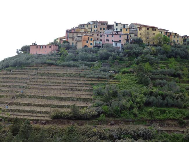 Vinhas em Cinque Terre, Riviera Italiana