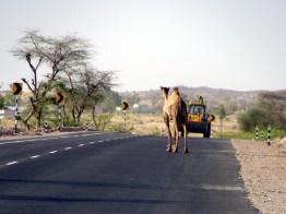 Estrada no Rajastão, Índia: animais na pista são um perigo