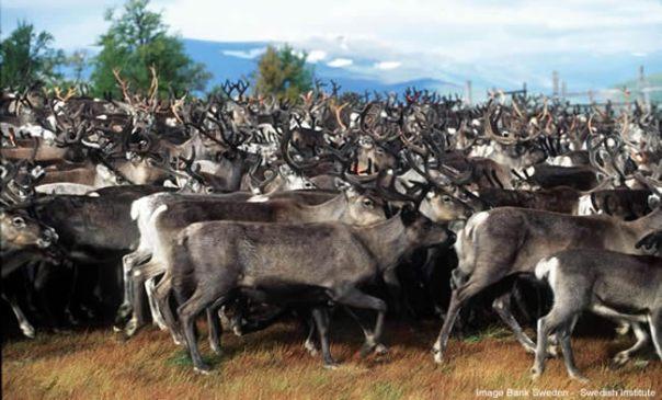 Rebanho de renas, norte da Suécia