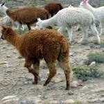Alpacas, Valle del Colca, Peru