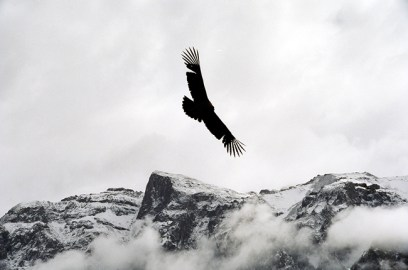 Condor no Vale do Colca, Peru