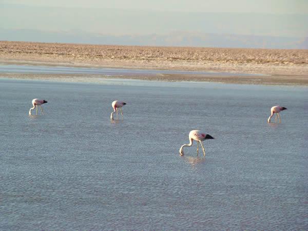 Flamingos rosados, deserto do Atacama