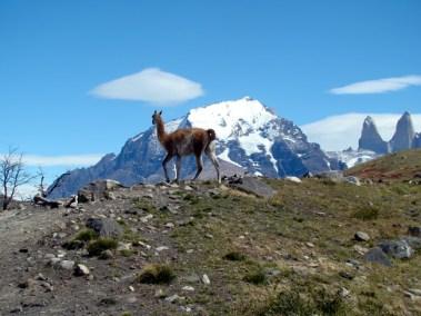 Guanaco em Torres del Paine