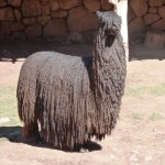 Alpaca negra, Vale Sagrado dos Incas, Peru