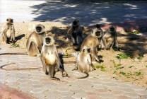Jaipur, macacos em liberdade