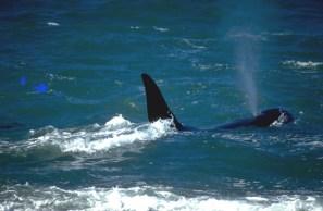 Patagônia Atlântica, ponto de encontro de grandes cetáceos