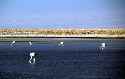 Chile, flamingos no Deserto de Atacama