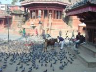 Vaca Sagrada é alimentada no Durbar Square de Katmandu