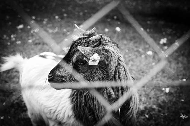Schwarz-Weiss-Bld von einer Ziege; unscharf im Vordergrund ein Maschendrahtzaun