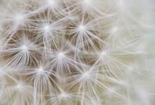 Beitragsbild Makro-Fotografie – Fallschirme einer Pusteblume