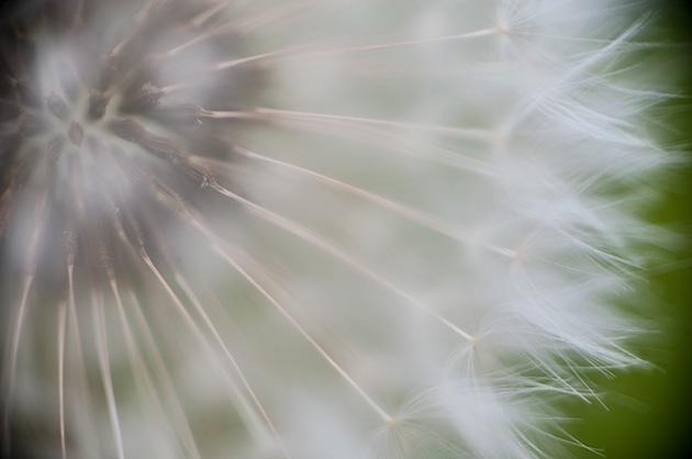 Makro-Fotografie einer Pusteblume, Blütenkern mit den «Fallschirmen»