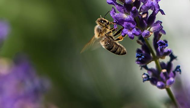 Nikon D810 – Makroaufnahme von einer Biene auf einer Lavendel-Blüte, Beitragsbild