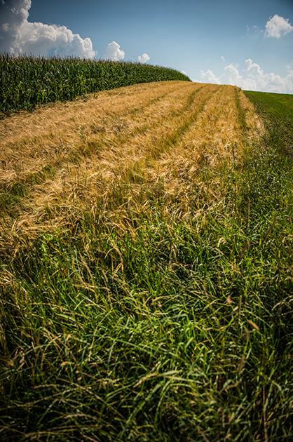 Korn- und Mais-Feld auf dem Gurten