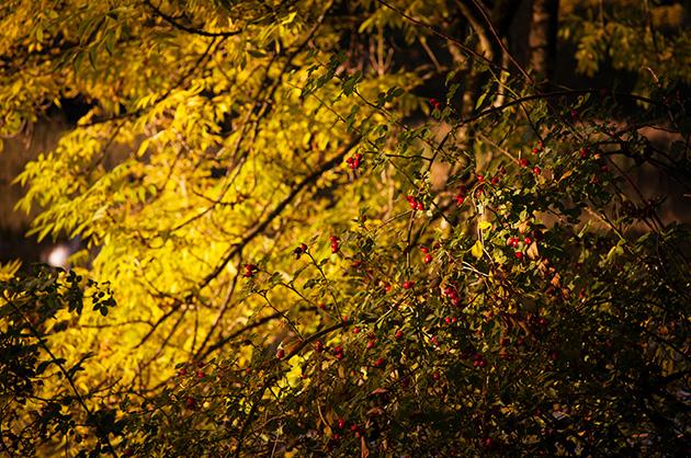 Hagebuttenbusch im Herbstlicht am berner Egelsee.