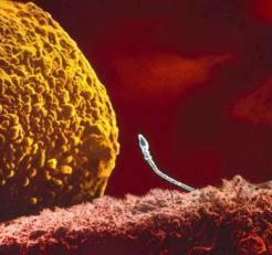 Espermatozoide frente a óvulo.