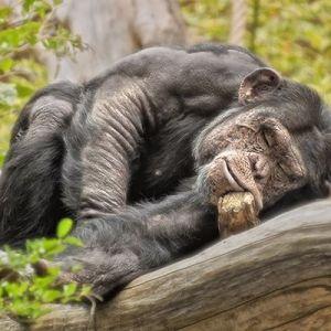siesta chimpance manuel ponce fotografía