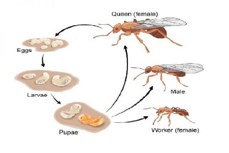 Life Cycle Of Ants From Egg Stage To The Queen Manvspest