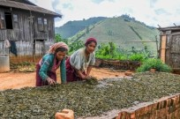 21755011 - drying and fermentation of tea - myanmar