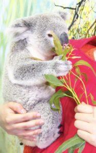 コアラ抱っこ体験