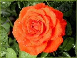 Rote Regenrose, etwas grösser