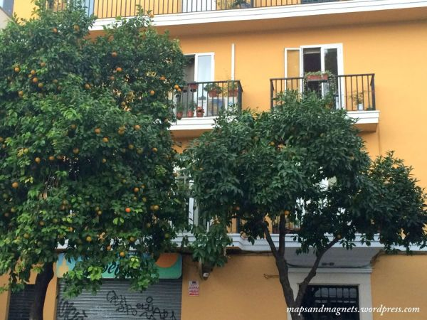 seville-orange-tree