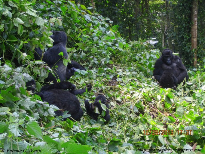 gorilla-bwindi-uganda