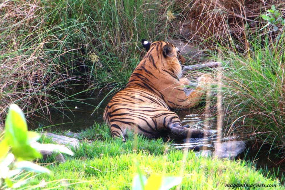 Ranthambore tiger from the back
