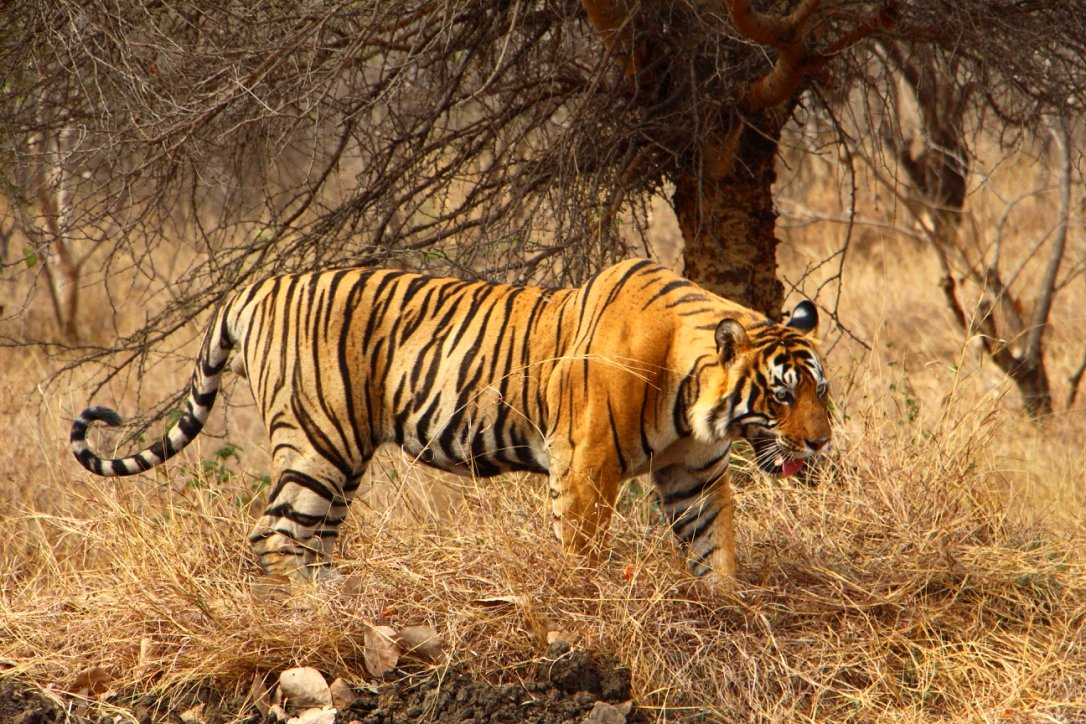 Planning a tiger safari in Ranthambore India