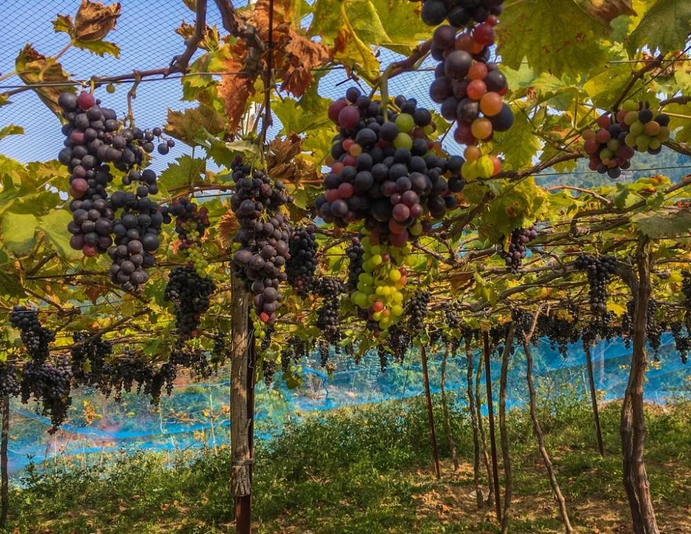 Grapes in vineyards in Nilgiris