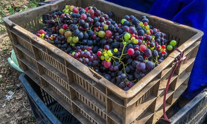 Box of grapes in vineyards in Nilgiris
