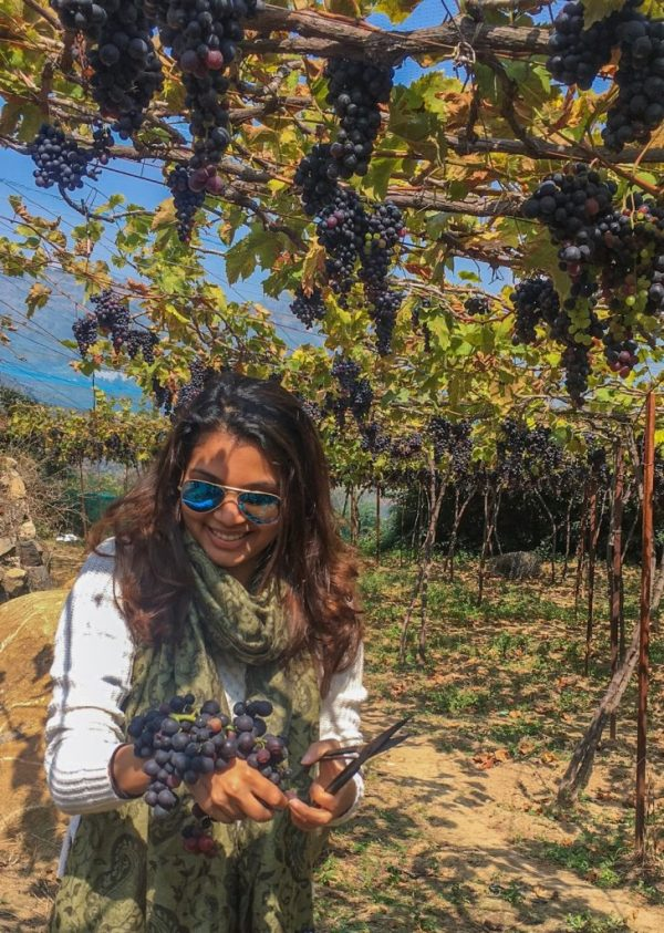 Plucking grapes in the vineyards in Nilgiris