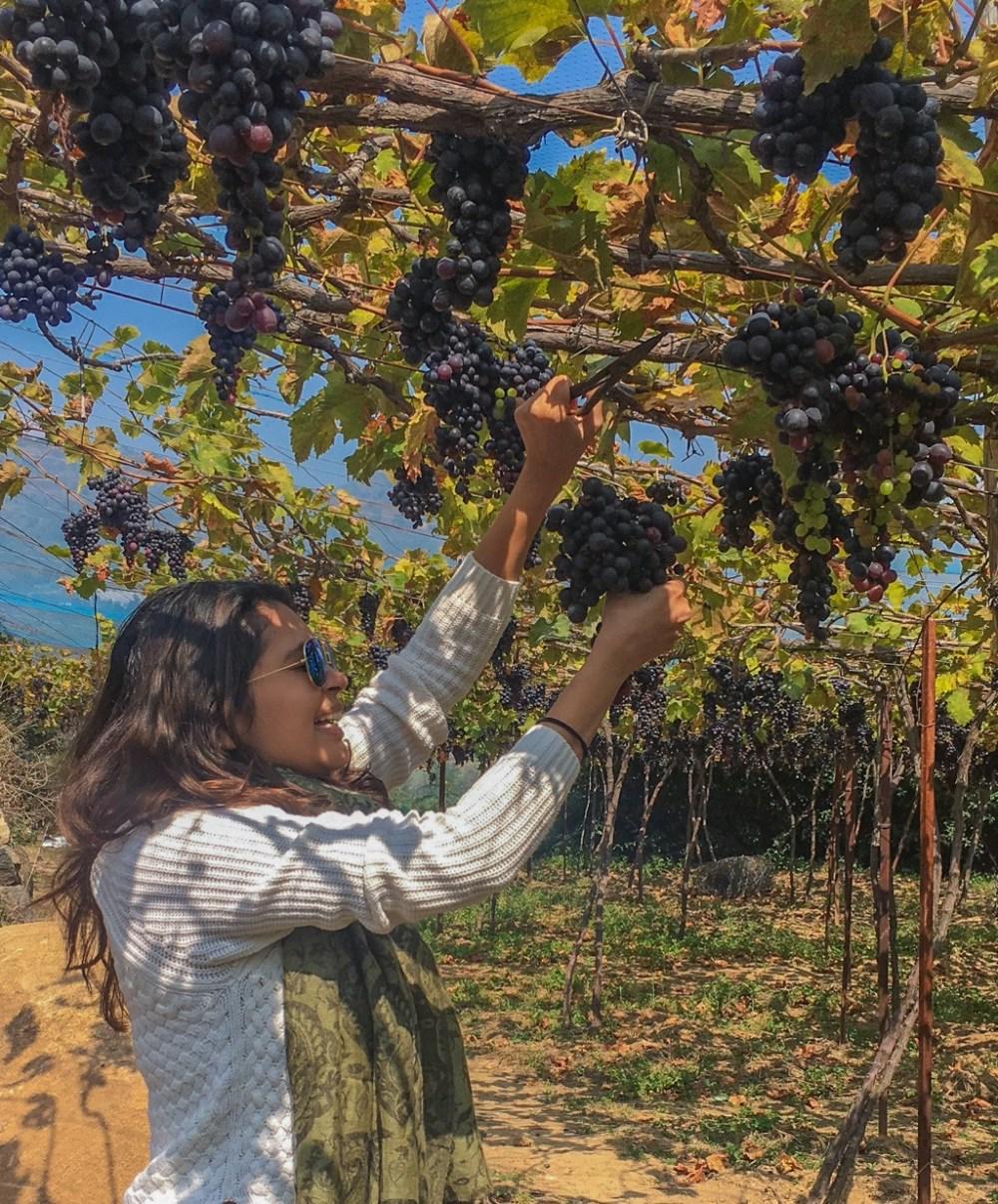 Plucking grapes in the vineyards in Nilgiris