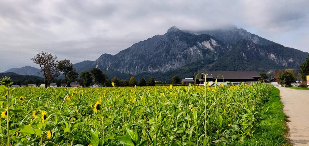 Sunflowers against the Austrian Alps