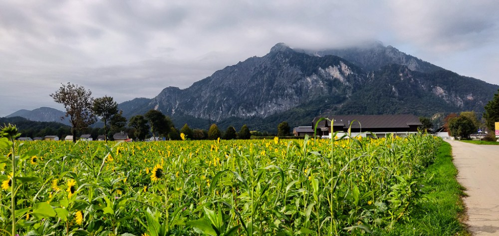 Sunflowers against the Austrian Alps