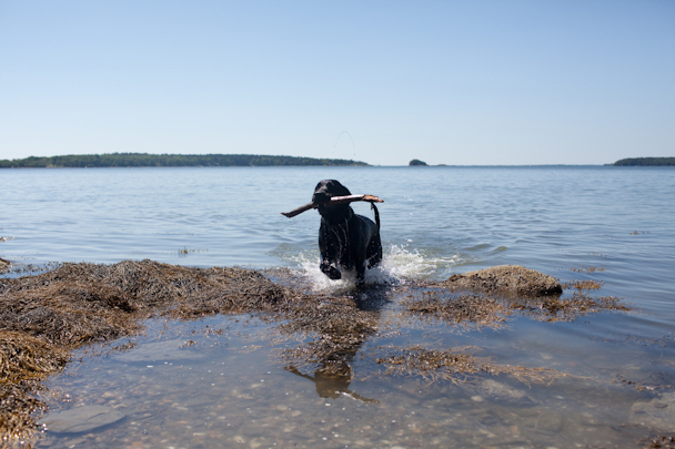 Black Lab Swimming