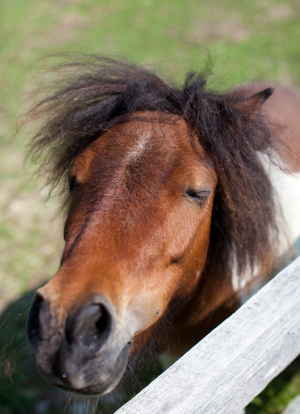 Snug Harbor Farm Miniature Horses