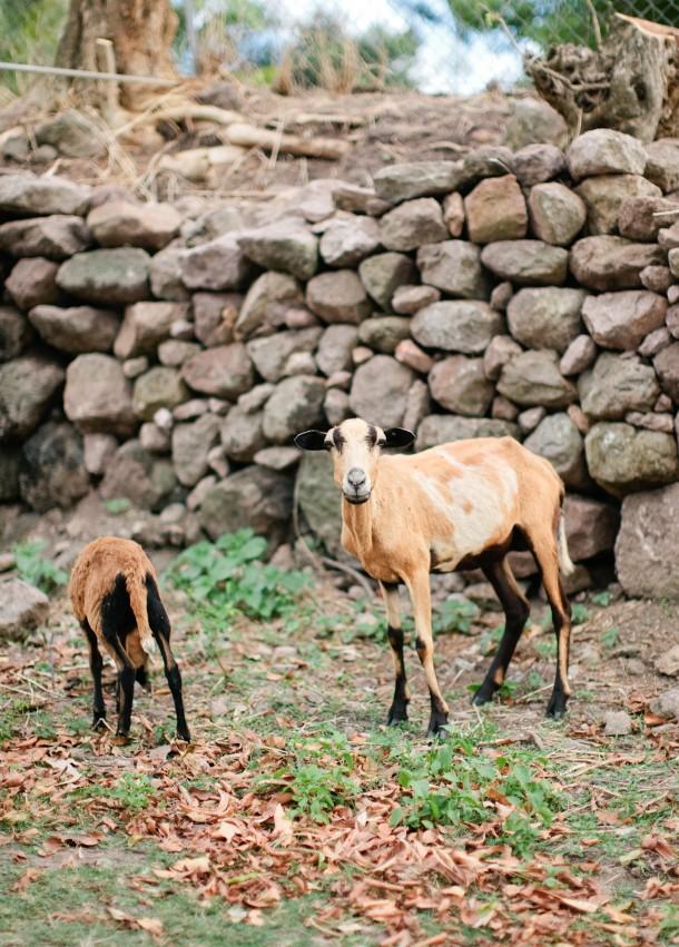 Goats on Nevis
