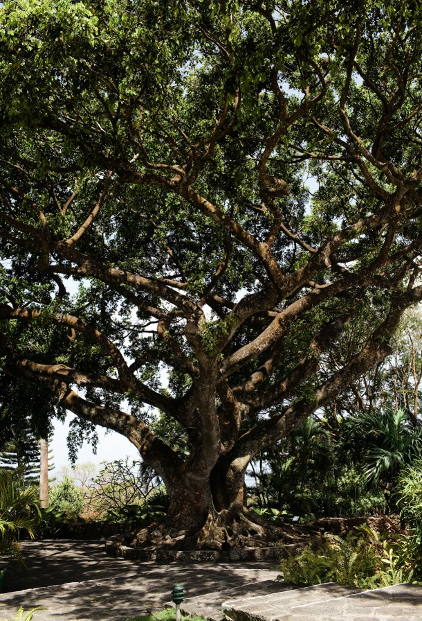 Montpelier Plantation Weeping Fig Tree