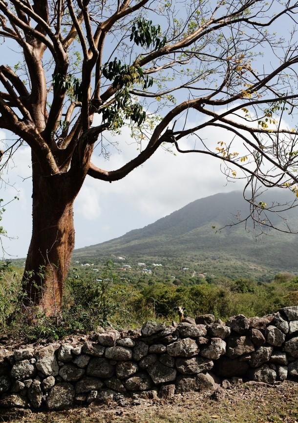 Goats on Nevis Island