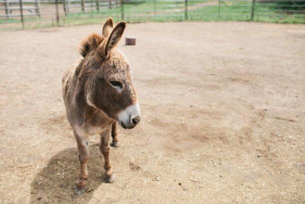 Carmel Valley Ranch Donkey