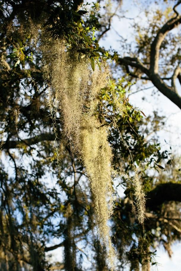 Palmetto Bluff Spanish Moss