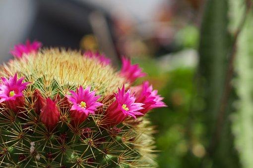 Cáctus en flor