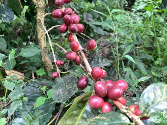 Chikmagalur coffee