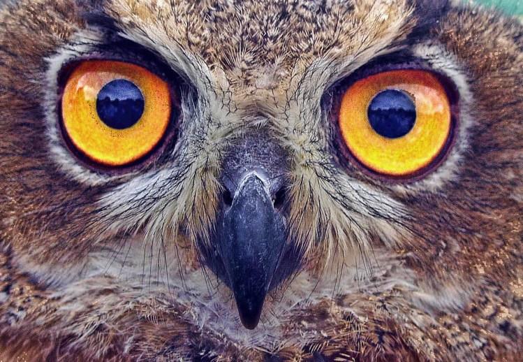 Hibou en très gros plan avec ses yeux jaunes