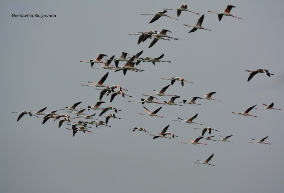 Flamingoes_1