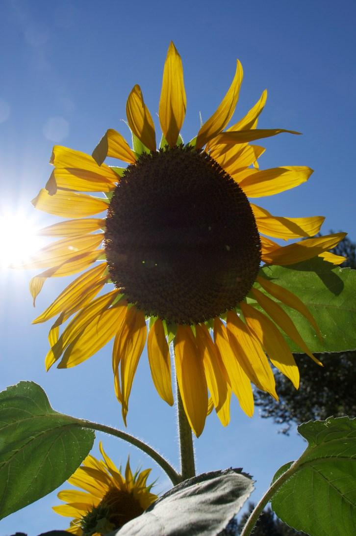 Sun-Shine-Flower