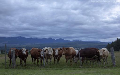 cows-denman-x_MG_0979